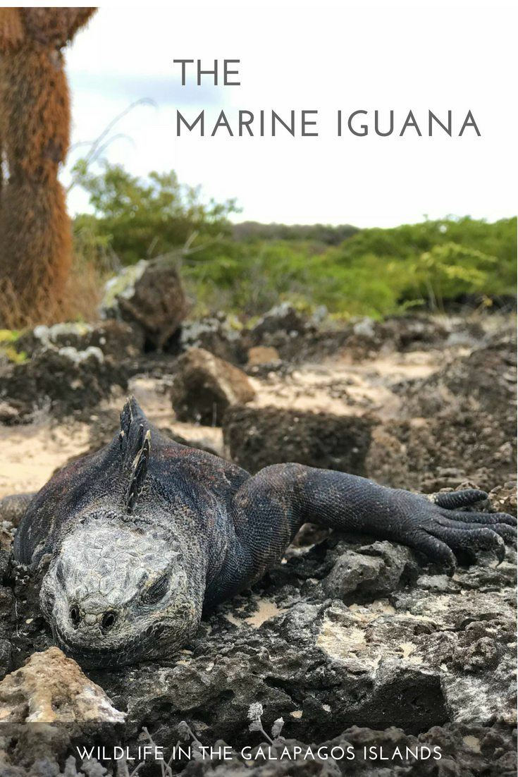 Galapagos wildlife experiences: the marine iguana
