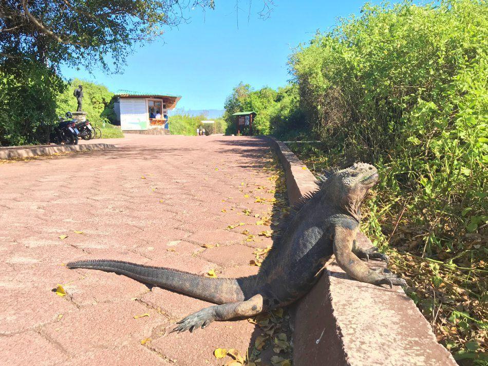 Galapagos wildlife experience: the marine iguana