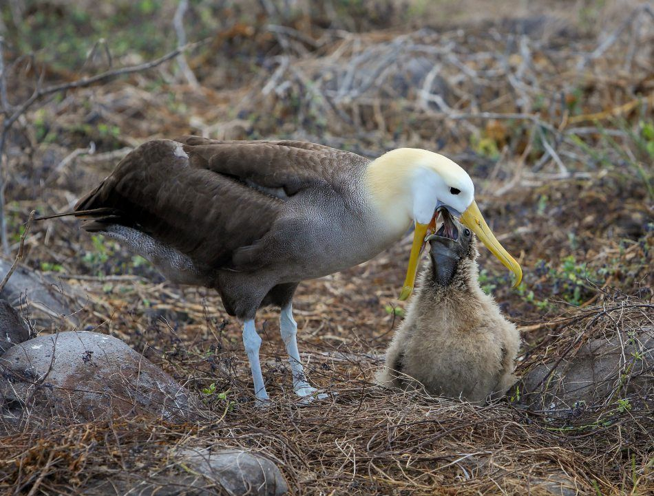 Galapagos Wildlife: Galapagos Albatross
