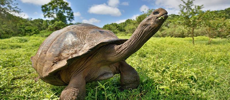 The Galapagos Giant Tortoise