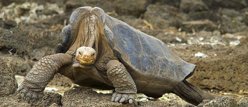 Lonesome George, Galapagos