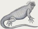 Galapagos Safari Camp - Iguana illustration